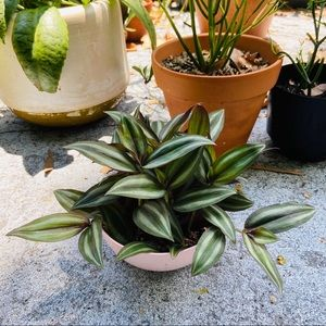 🌱Wandering Jew Potted Rooted Live Plant